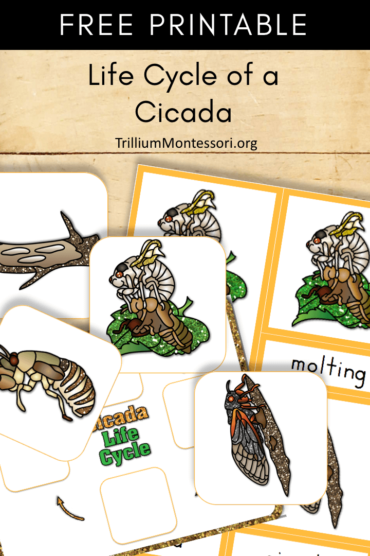 the study of a life cycle of a cicada Cicadas is reported in a study published in communications biology this   periodical cicadas spend the majority of their lives underground as  despite this  intermixing, the cicadas have maintained their distinct life cycles.