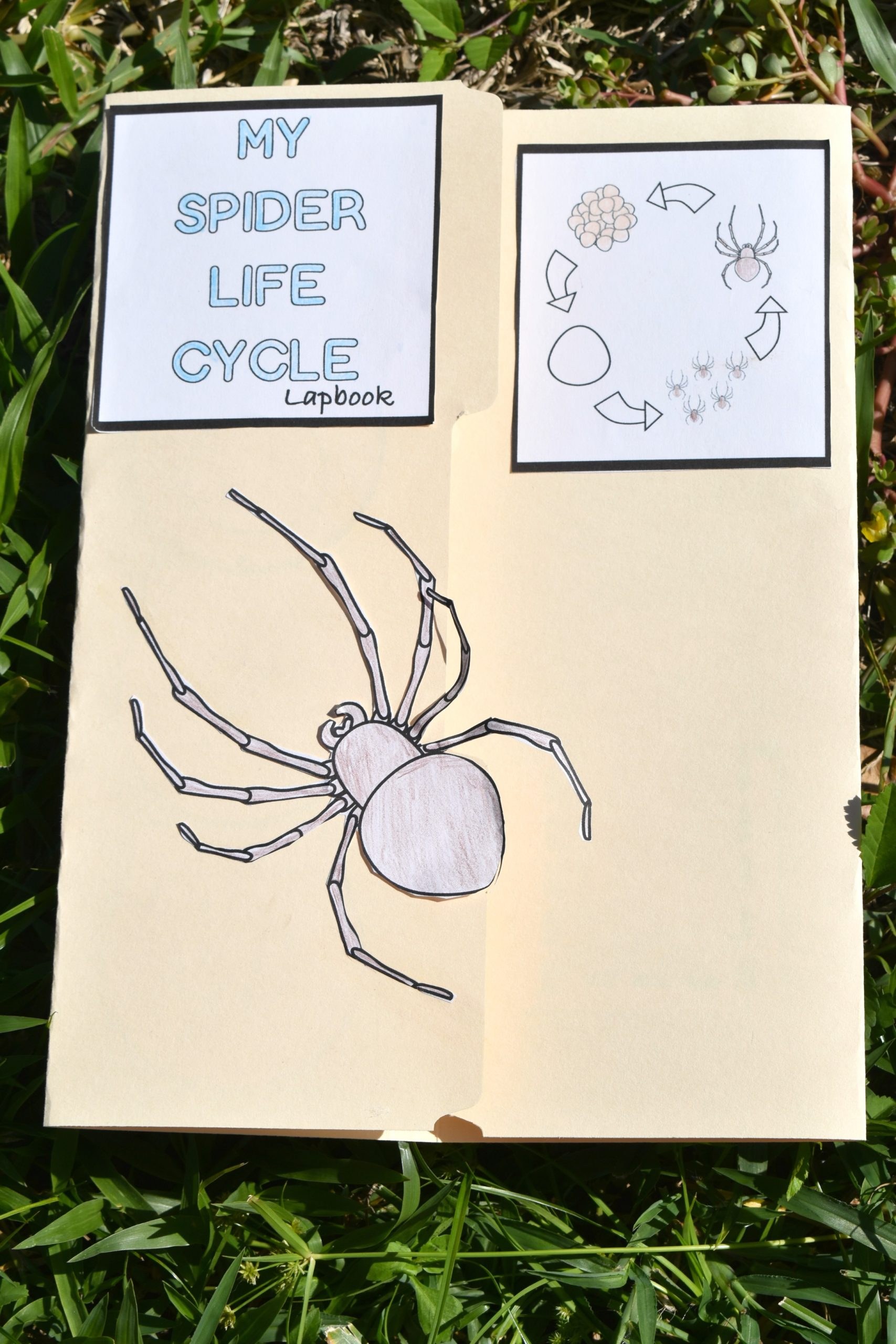 Life Cycle of a Spider Lapbook